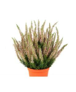 Plantas e Arvores Exoticas - Erica | Darden | Importação, Produção e Comercialização de Plantas e Árvores Artificiais