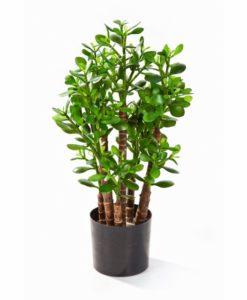 Plantas e Arvores Exoticas - Crassula Ovata  Darden   Importação, Produção e Comercialização de Plantas e Árvores Artificiais