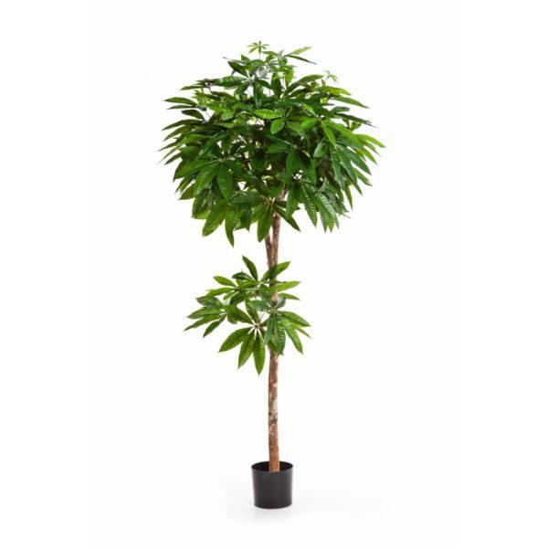 Plantas e Arvores Exoticas - Pachira | Darden | Importação, Produção e Comercialização de Plantas e Árvores Artificiais