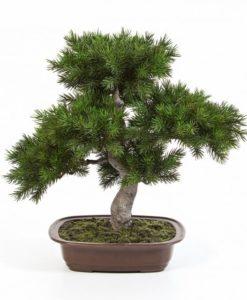 Darden | Importação, Produção e Comercialização de Plantas e Árvores Artificiais – Bonsai Pinus